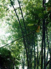 bamboo.1.0.jpg